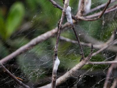 white fuzzy stuff on mangroves