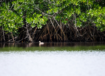 little bird under the mangroves