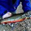 Nov 15, 2016  I thought I would never keep another Brookie cuz they're so small and pretty, but this one was huge!