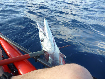My first wahoo. From a kayak no less. They can be pretty dangerous to land, but this one was remarkably calm once I put my kage (Hawaiian fish spear) through it.