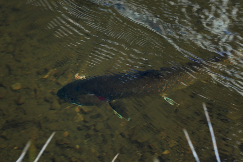 Bull Trout who came to steal the Brookie and then hit the point sedge.