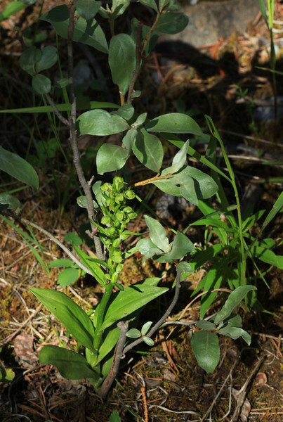 Northern Green Bog Orchid