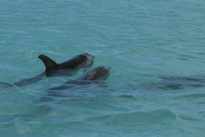 Spotted Bottlenosed Dolphins