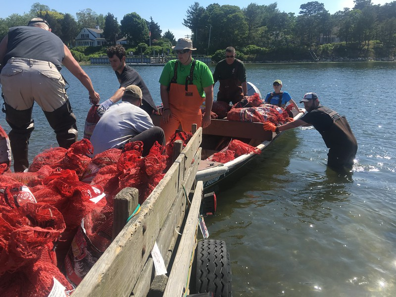 Planting quahoags in the Bass River