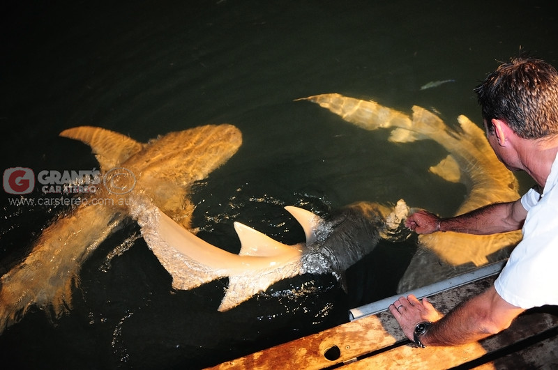 Tawney Nurse sharks fortunately have no teeth and behave like your pet puppy. They love a pat.