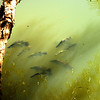 Windjana Gorge inear Derby is a national Park. Lucky for these Barramundi lurking in the shadows.
