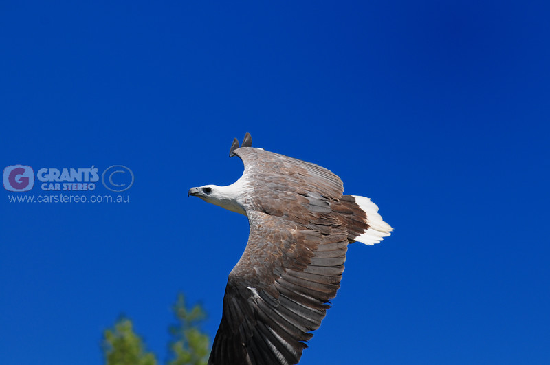 An Eagle keeping us company on the Glenelg River in the Kimberley, far North Western Australia.