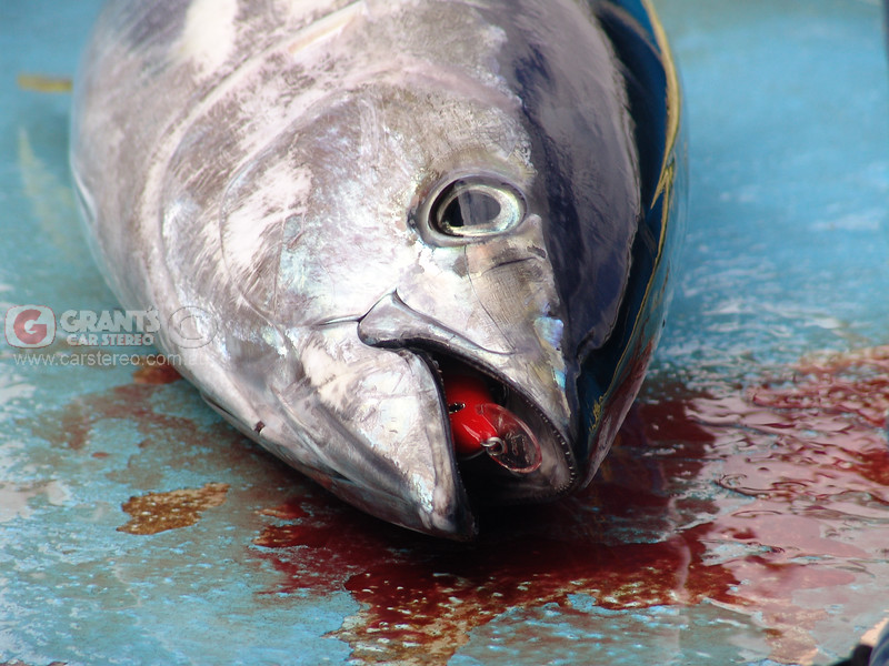 This Tuna didn't go back but fed around a dozen families in Geraldton.