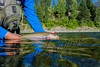 Fishing, fly fishing for trout,  rainbow trout