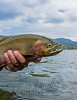 Fishing, fly fishing, cutthroat trout