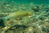 Fishing, fly fishing, cutthroat trout