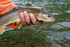 Fishing, fly fishing for trout, bull trout