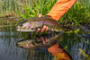 Fishing, fly fishing, rainbow trout, releasing a nice rainbow
