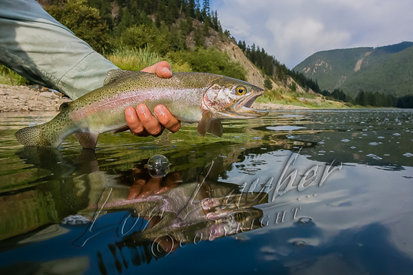 Fishing, fly fishing for trout,  cutbow trout fishing