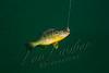 Fishing, fly fishing for pan fish, sunfish, bluegill