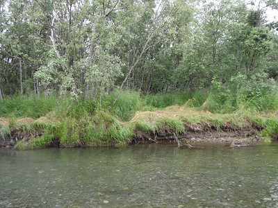 Bear den right over spawning Chum Salmon beds