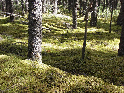 Black Spruce & Sphagnum Moss