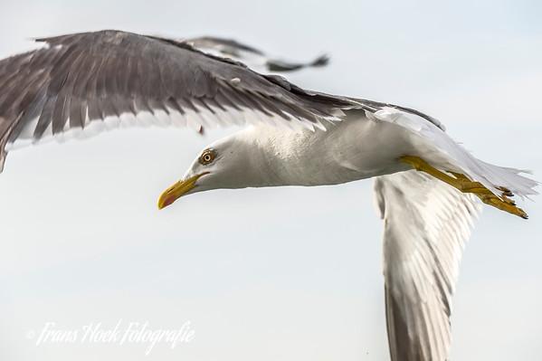 Because fish waste goes over board on a regular base there are lots of seagulls.  Omdat er regelmatig visafval overboord gaat zijn er heel veel zeemeeuwen.