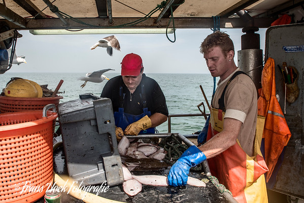 Gutting the caught sole. / Het strippen van de gevangen tong.