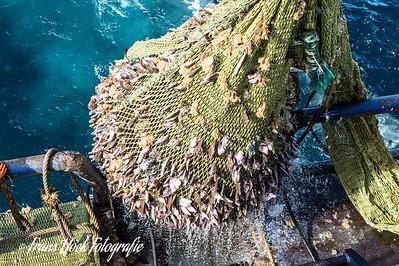 The net hauled back. / Het net komt over de railing.