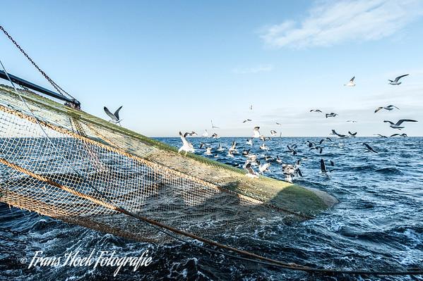 Seagulls on the net /Zeemeeuwen op het net