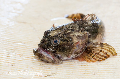 Monkfish / Zeeduivel