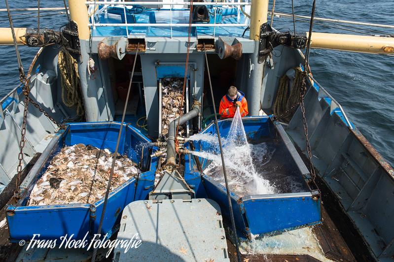 The fish is flushed to the conveyor belt. / De vis wordt naar de transportband gespoeld.