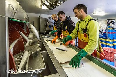 Sorting the catch. / Het sorteren van de vangst.