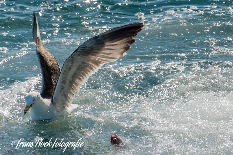 Seagull with fish. / Zeemeeuw met vis.
