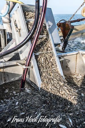 A good catch of shrimps. / Een goede vangst garnalen.