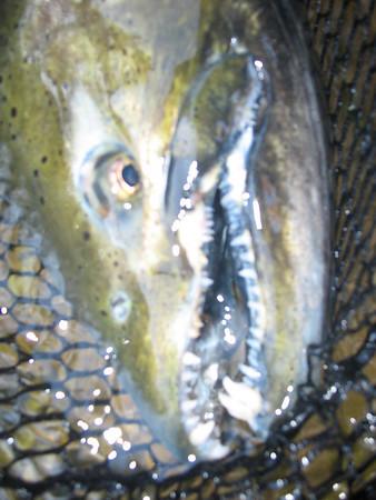 Salmon 2010