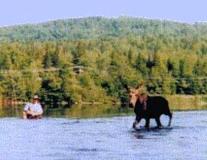Moose encounter on the Andro
