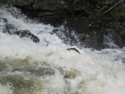 Salmon heading up river for the Fall run. Photo by Ginette White