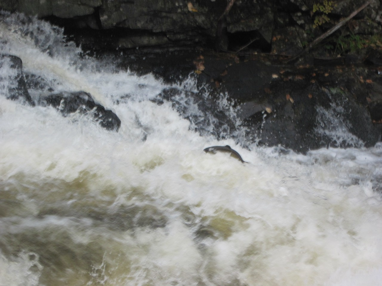 Salmon heading up river for the Fall run.
