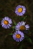 Manyflower Fleabane; Smooth Fleabane
