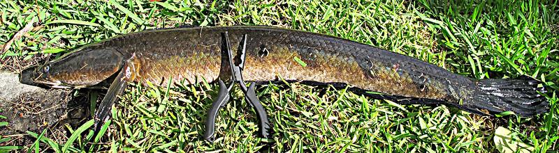 Asian Snakehead fish