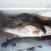 Dinner guests, Redfish, speckled sea Trout, Flounder, Grouper