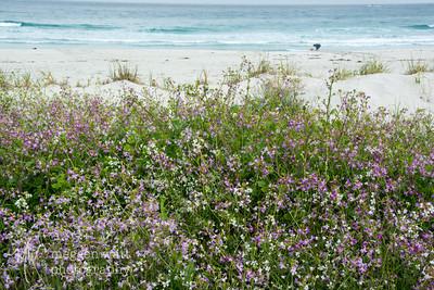 Sandra - possibility. Asilomar State Park Beach