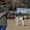 Keeping an Eye on everything at the Fitchburg Dog Park on Wednesday afternoon is Ragnar a rescue dog from Puerto Rico with his owner Elizabeth Fava from Leomisnter. SENTINEL & ENTERPRISE/JOHN LOVE