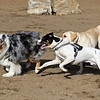 Having fun at the new Fitchburg Dog Park is Jumpin Jacks a Australian Shephard, Ragnar, black and white dog rescue dog from Puerto Rico, Jessie James a lab mix and Roosa a labernese, black dog. SENTINEL & ENTERPRISE/JOHN LOVE