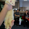 Animal Adventures, a family zoo and rescue center, from Bolton visited the Fitchburg Public Library on Thursday morning, December 28, 2018. The program was funded by the United Way's Strengthening Families grant. Drew Shaheen from the zoo holds a Ferret for the kids to see, learn about and pet. SENTINEL & ENTERPRISE/JOHN LOVE