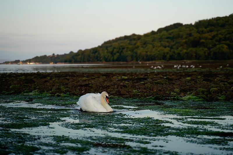 Swan at Cuddy Dook