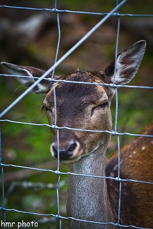 Deer flirt