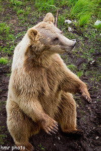 Norwegian brown bear