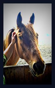 Quarter Horse