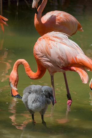 Flamingos July 2018