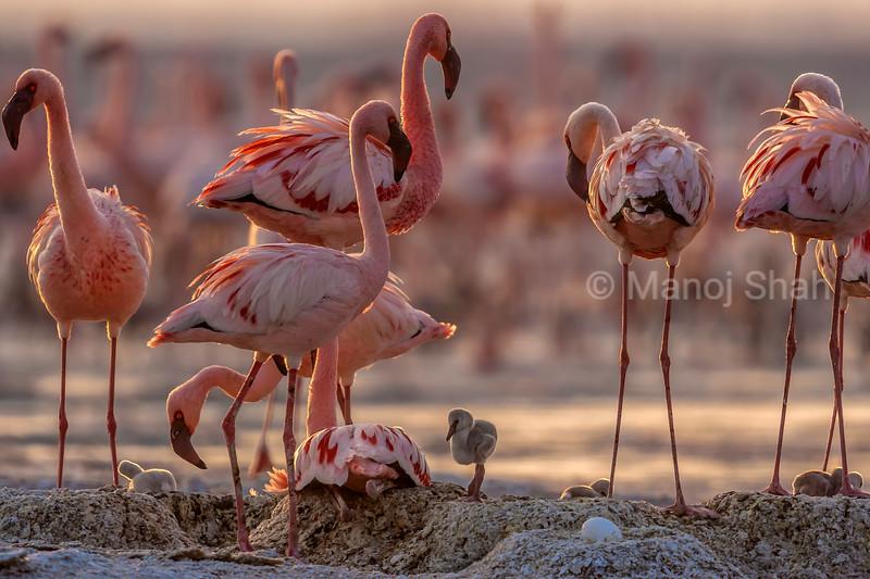 Flamingos with chicks and egg at Lake Natron, Tanzania.