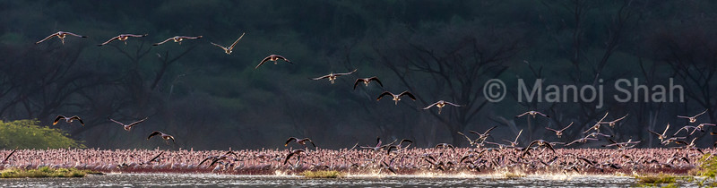 Lesser Flamingos in flight over Lake Bogoria