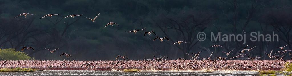 Lesser Flamingos in flight over Lake Bogoria