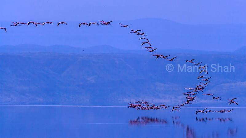 Lesser flamingos flying over Lake Natron early morning before sunrise.